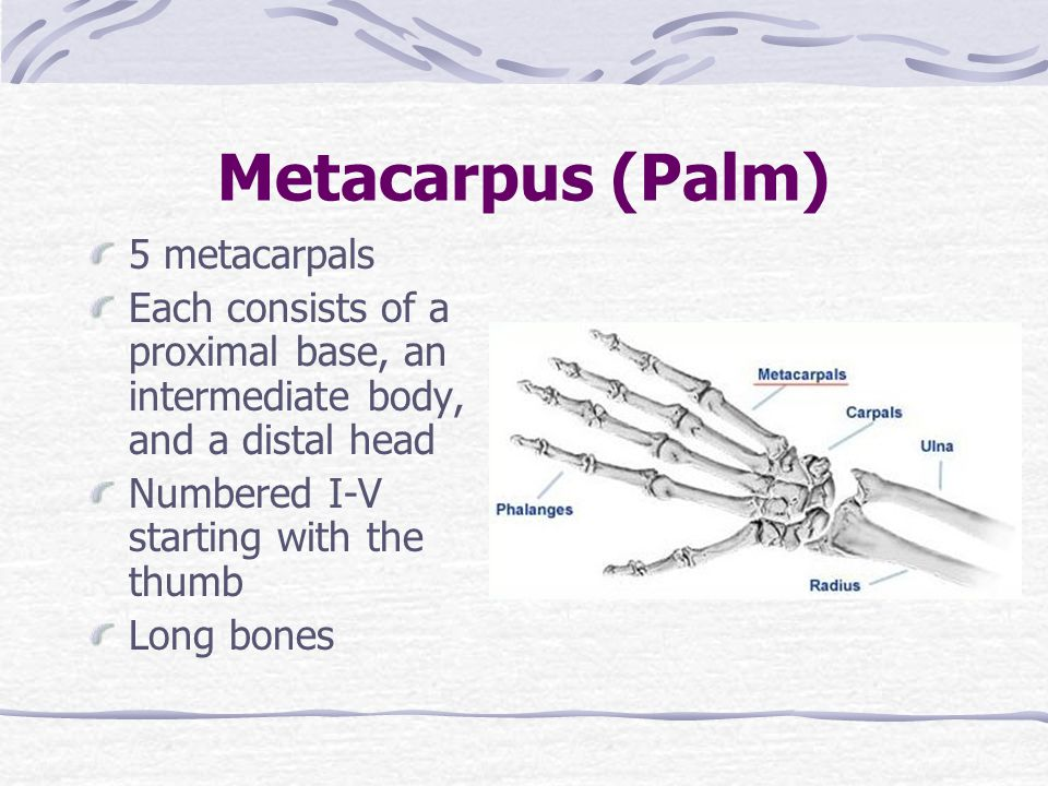 Metacarpus (Palm) 5 metacarpals