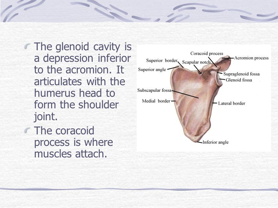 The glenoid cavity is a depression inferior to the acromion