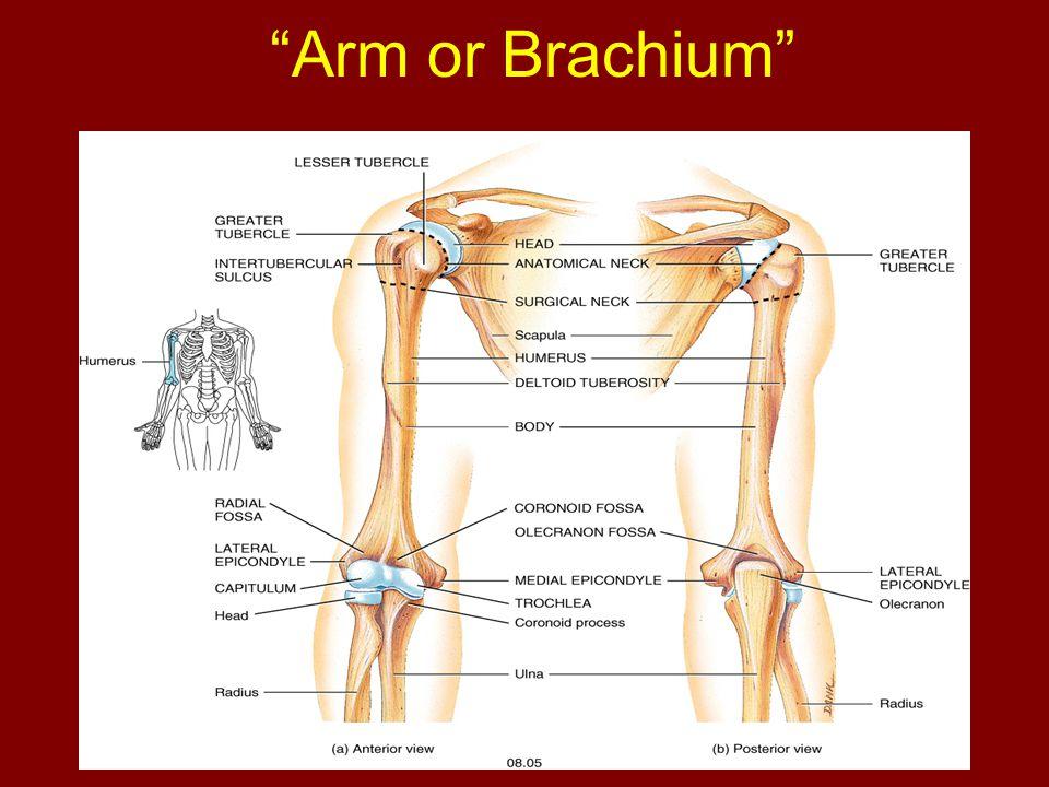 Arm or Brachium