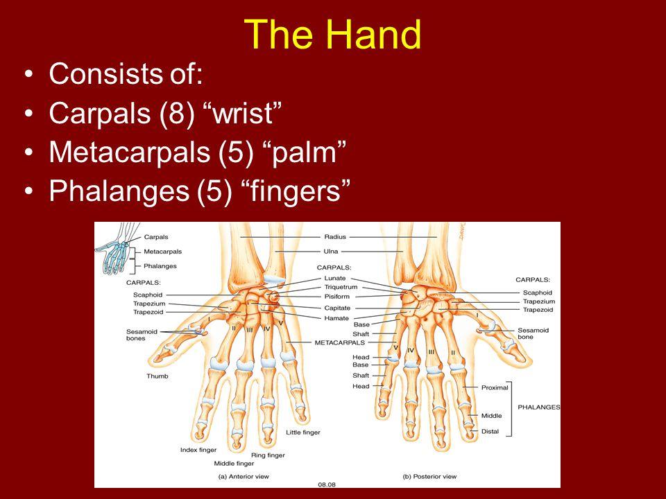 The Hand Consists of: Carpals (8) wrist Metacarpals (5) palm