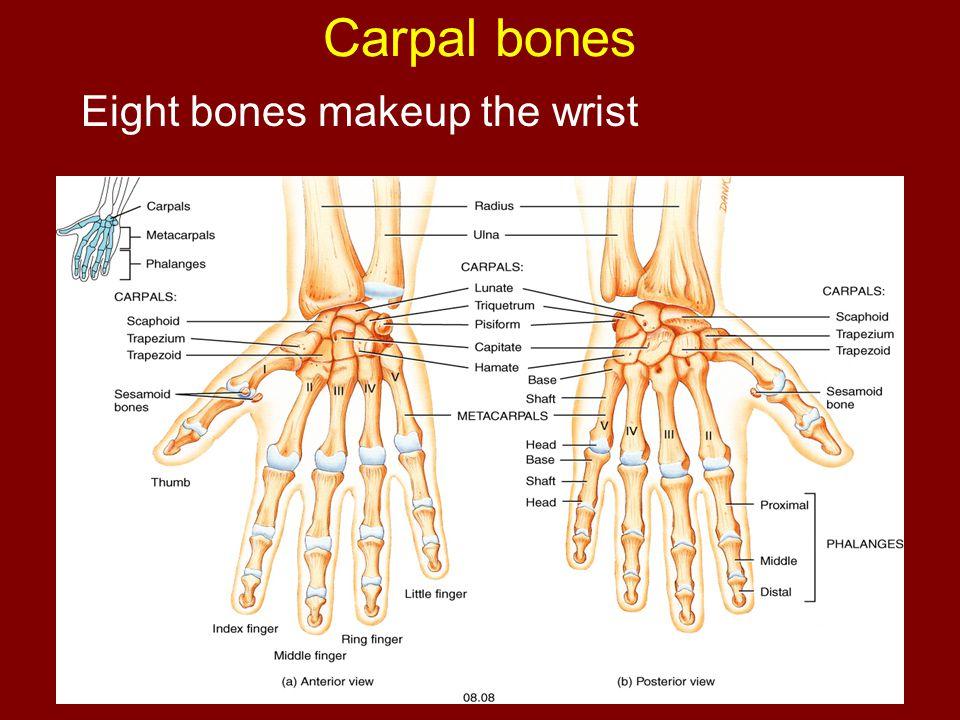 Carpal bones Eight bones makeup the wrist