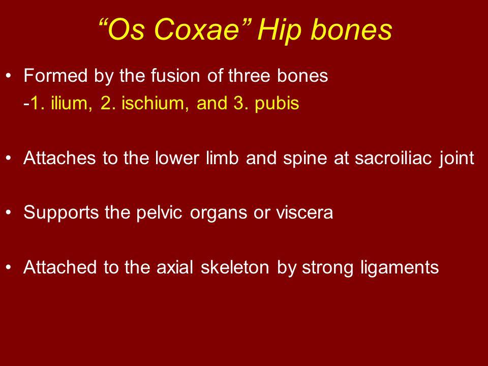 Os Coxae Hip bones Formed by the fusion of three bones