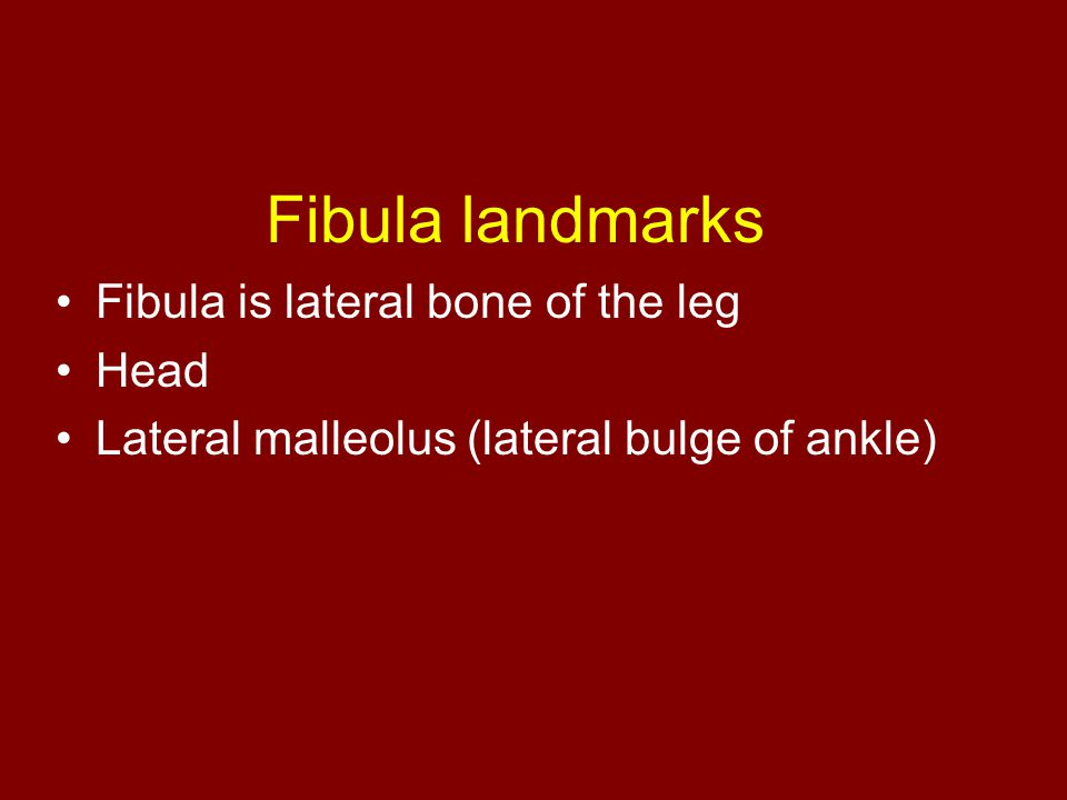 Fibula landmarks Fibula is lateral bone of the leg Head