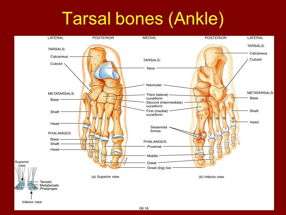 Tarsal bones (Ankle)