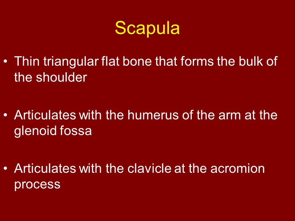 Scapula Thin triangular flat bone that forms the bulk of the shoulder