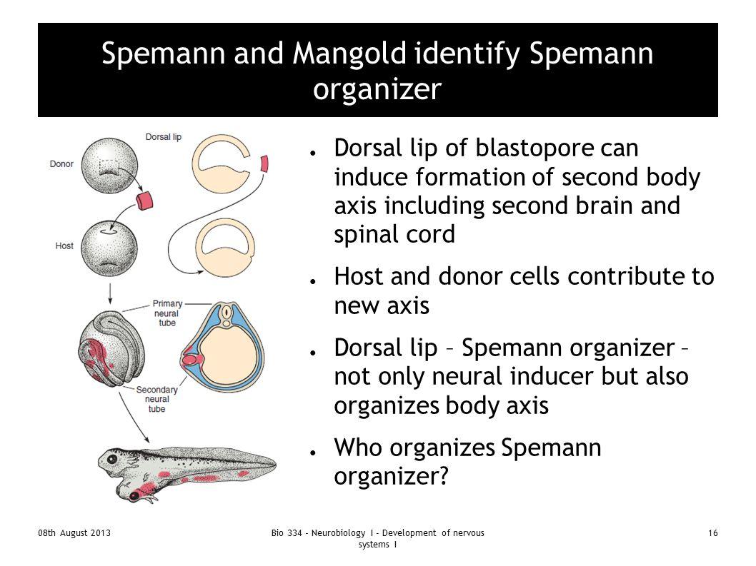 Spemann and Mangold identify Spemann organizer