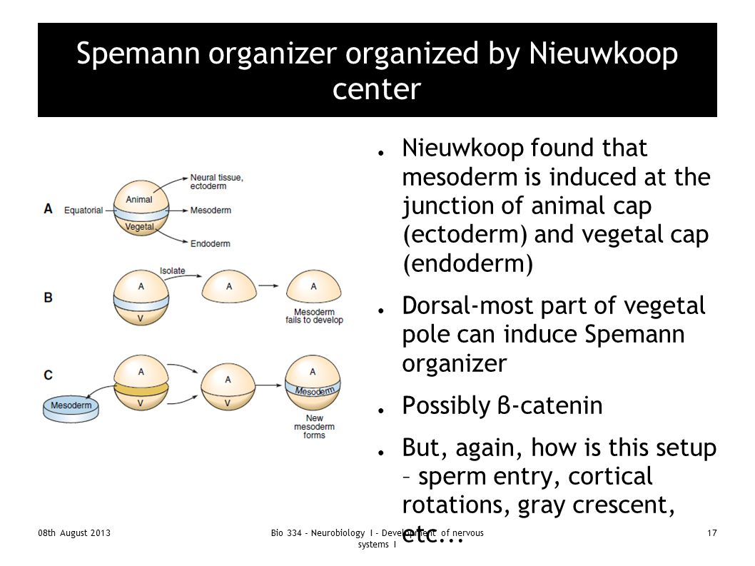 Spemann organizer organized by Nieuwkoop center