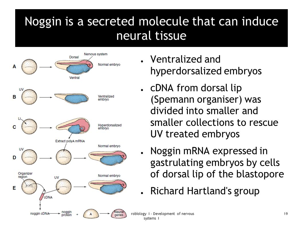 Noggin is a secreted molecule that can induce neural tissue