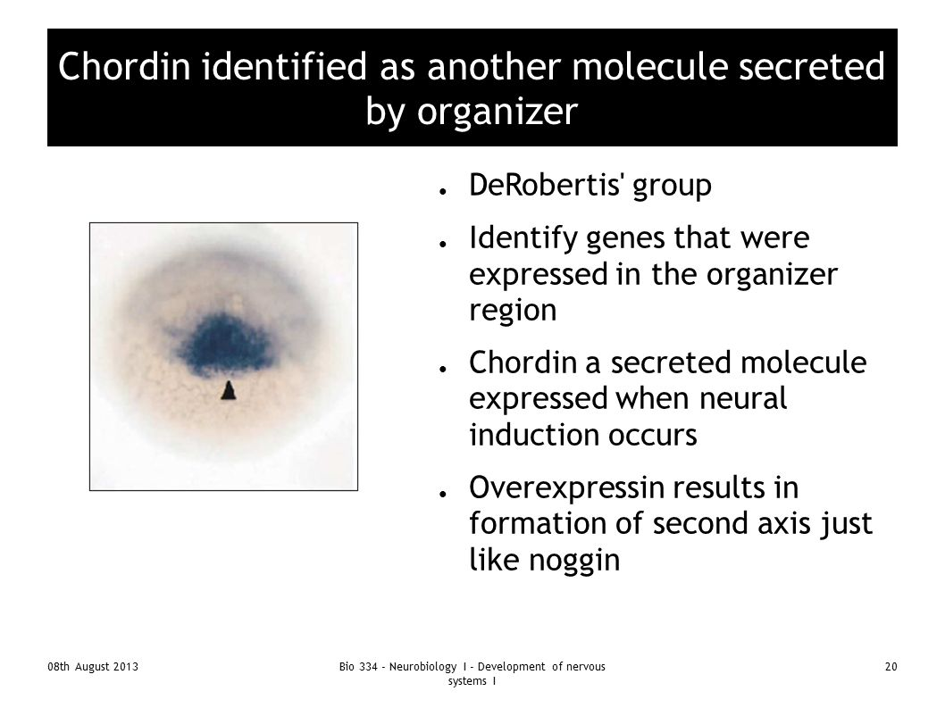 Chordin identified as another molecule secreted by organizer