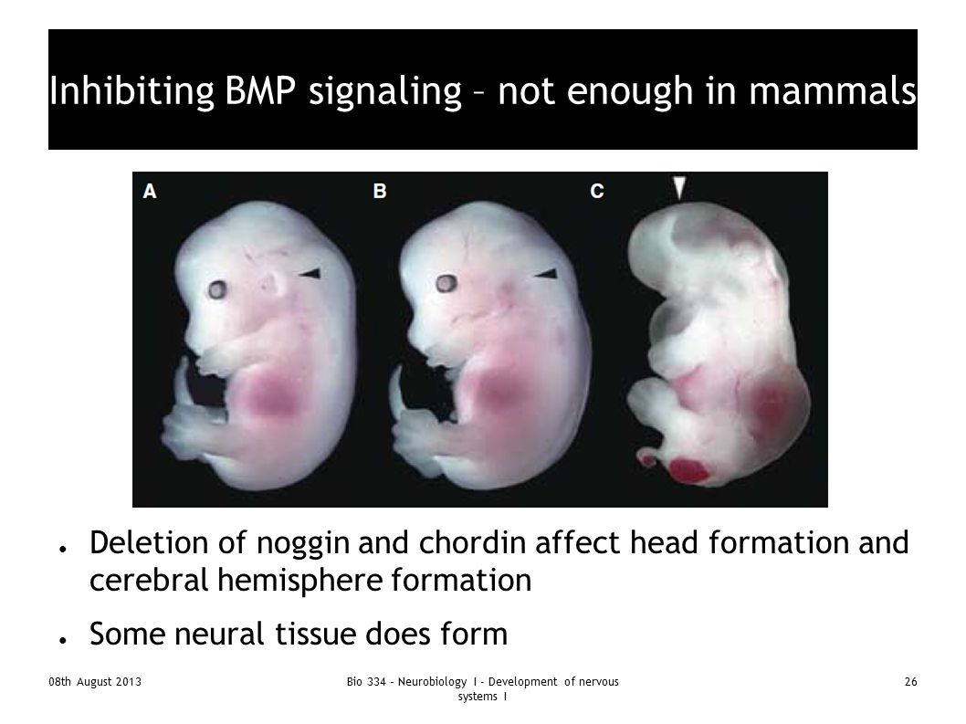 Inhibiting BMP signaling – not enough in mammals