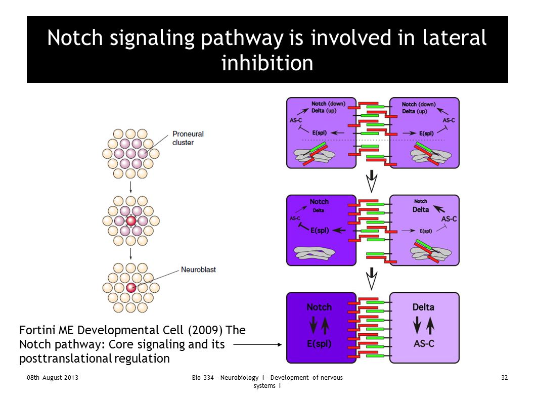 Notch signaling pathway is involved in lateral inhibition