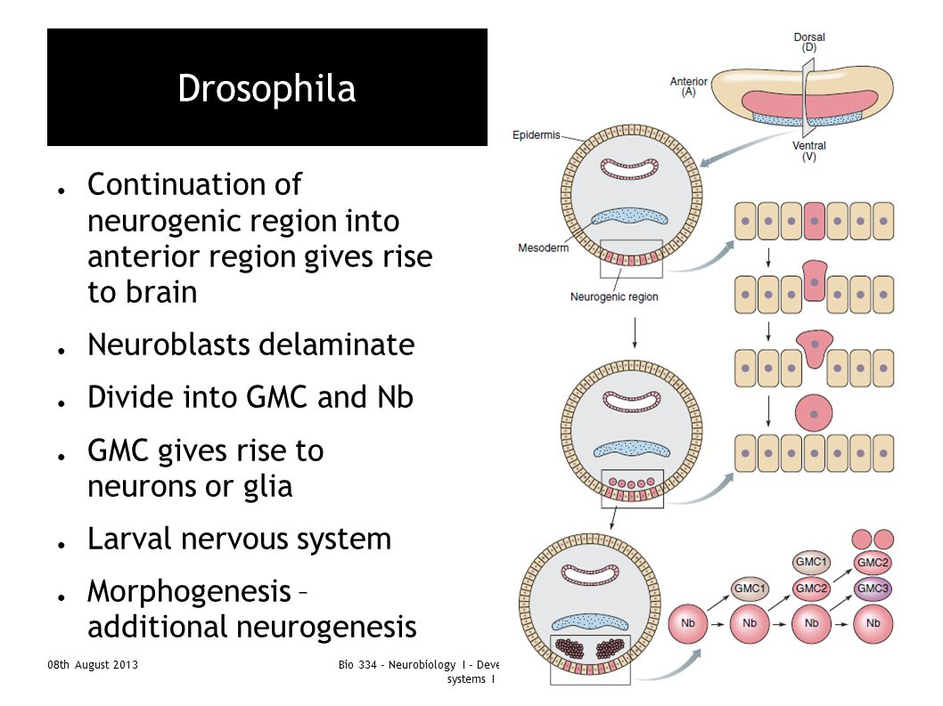 Bio 334 - Neurobiology I - Development of nervous systems I