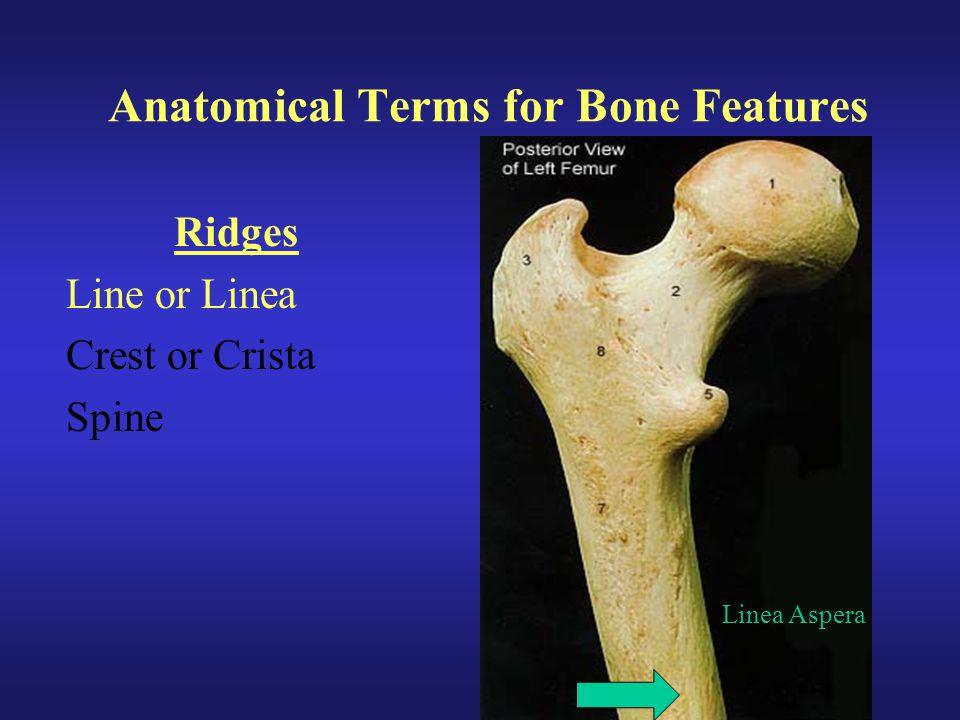 Anatomical Terms for Bone Features