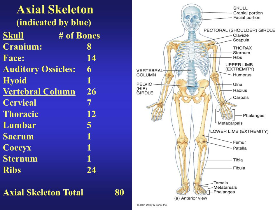 Axial Skeleton (indicated by blue) Skull # of Bones Cranium: 8