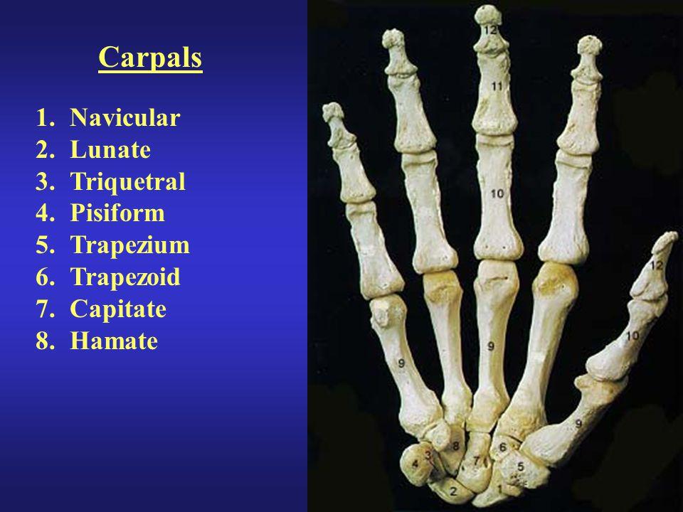 Carpals Navicular Lunate Triquetral Pisiform Trapezium Trapezoid