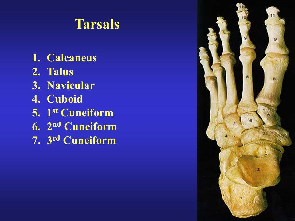 Tarsals Calcaneus Talus Navicular Cuboid 5. 1st Cuneiform
