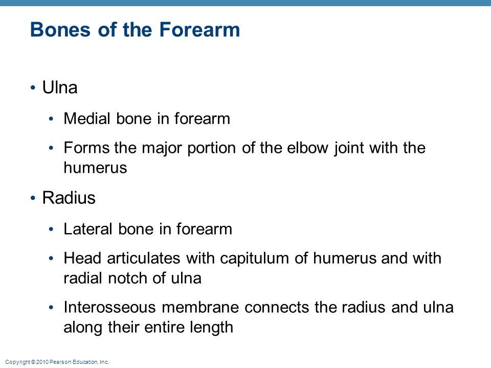 Bones of the Forearm Ulna Radius Medial bone in forearm