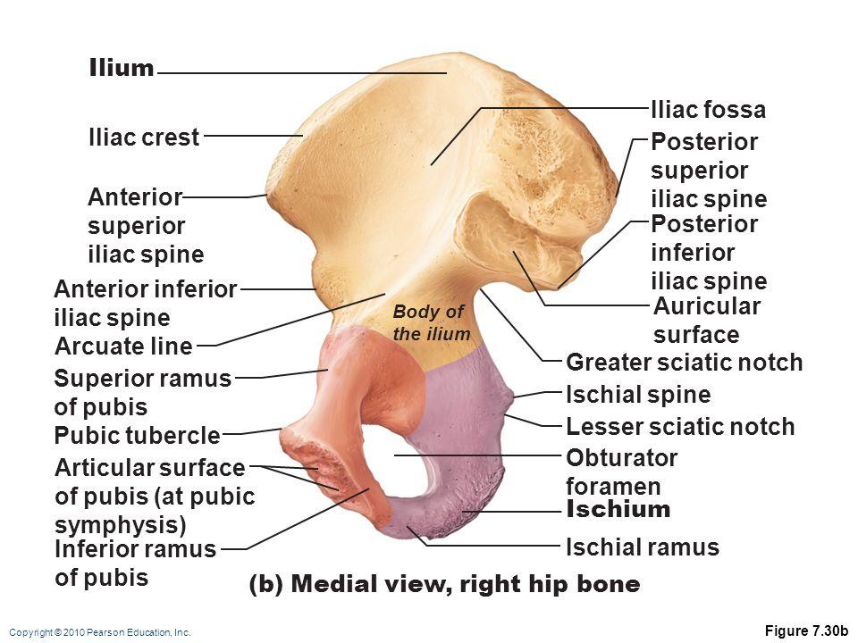 (b) Medial view, right hip bone