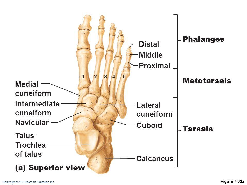Phalanges Distal Middle Proximal Metatarsals Medial cuneiform