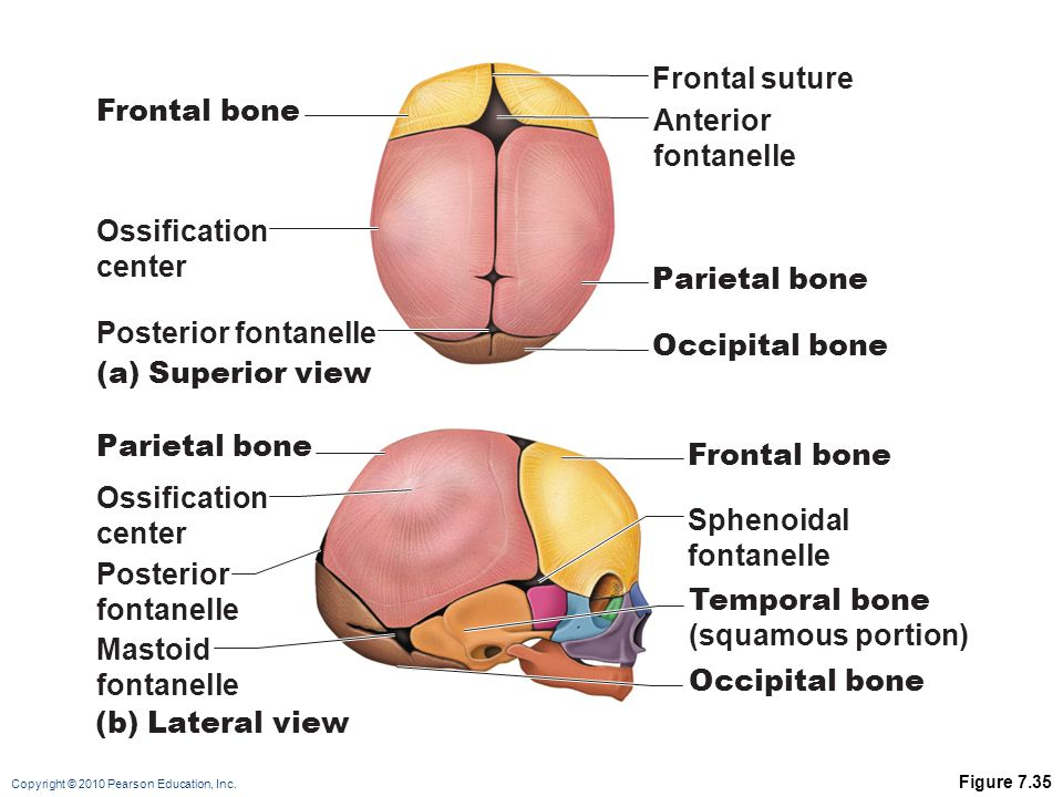 Frontal suture Frontal bone Anterior fontanelle Ossification center