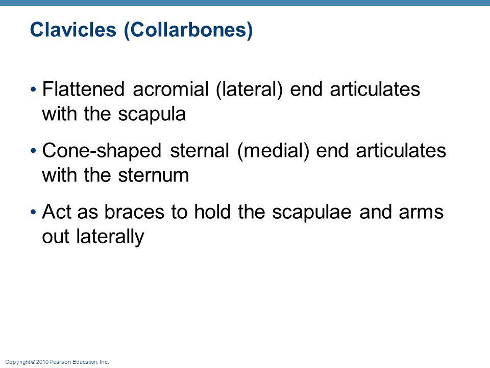 Clavicles (Collarbones)