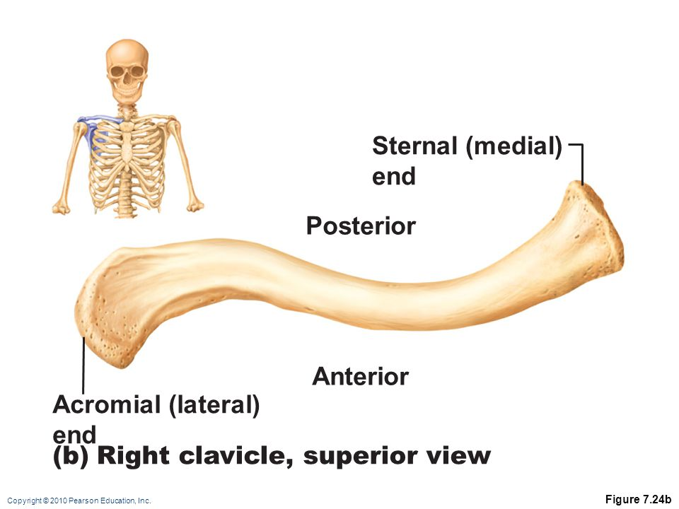 Right clavicle, superior view
