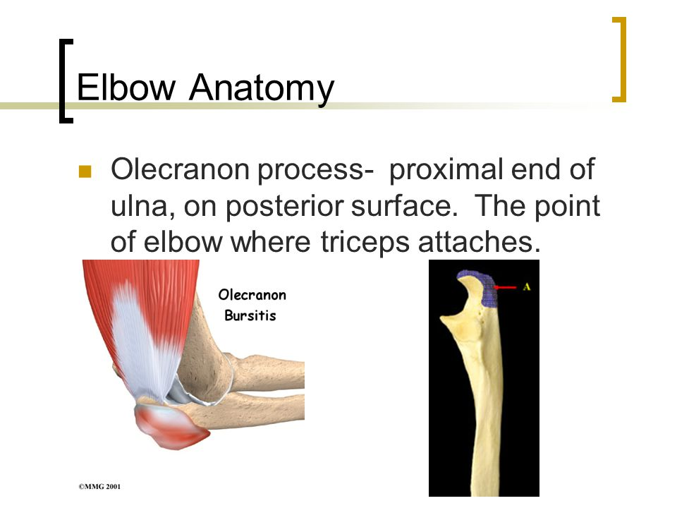 Elbow Anatomy Olecranon process- proximal end of ulna, on posterior surface.