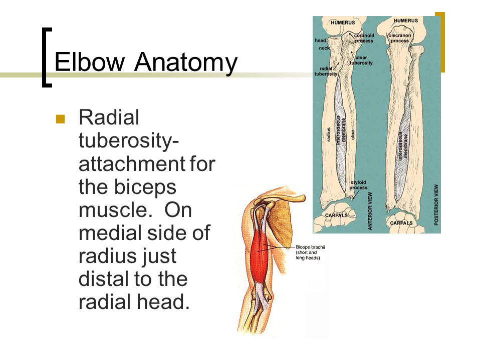 Elbow Anatomy Radial tuberosity- attachment for the biceps muscle.