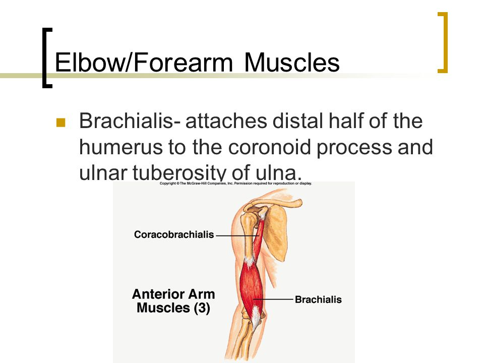Elbow/Forearm Muscles