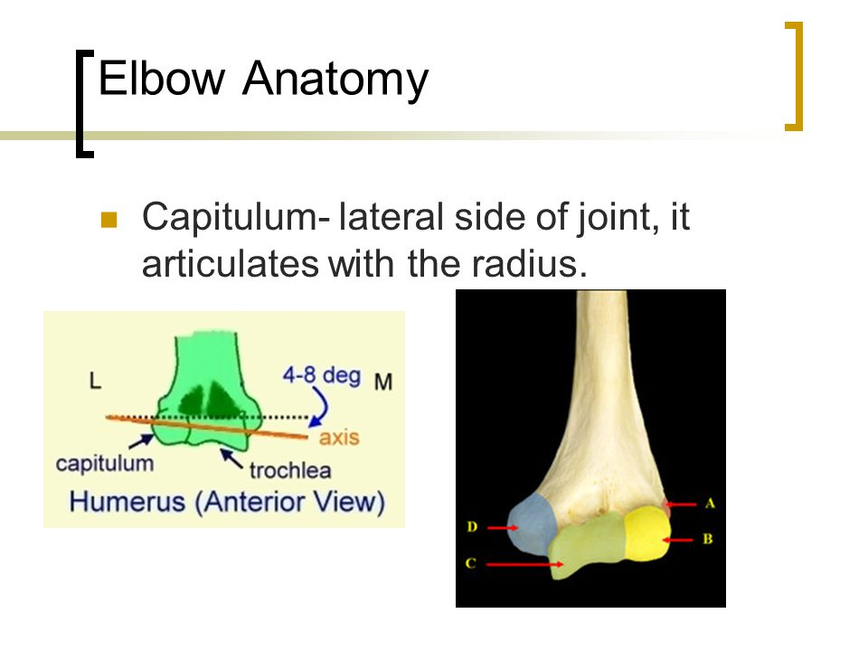 Elbow Anatomy Capitulum- lateral side of joint, it articulates with the radius.