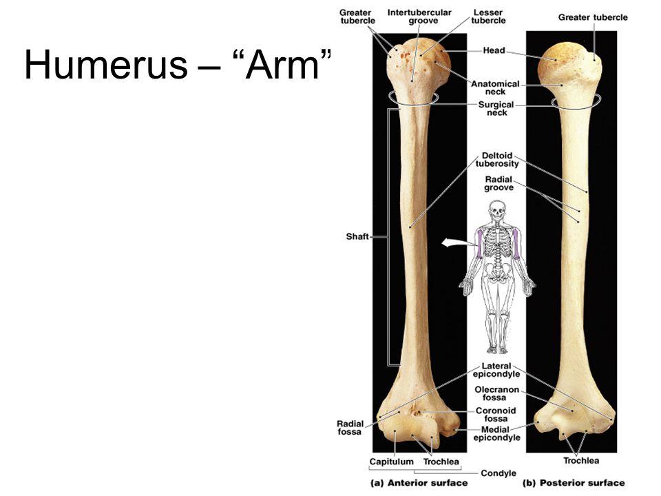 Humerus – Arm