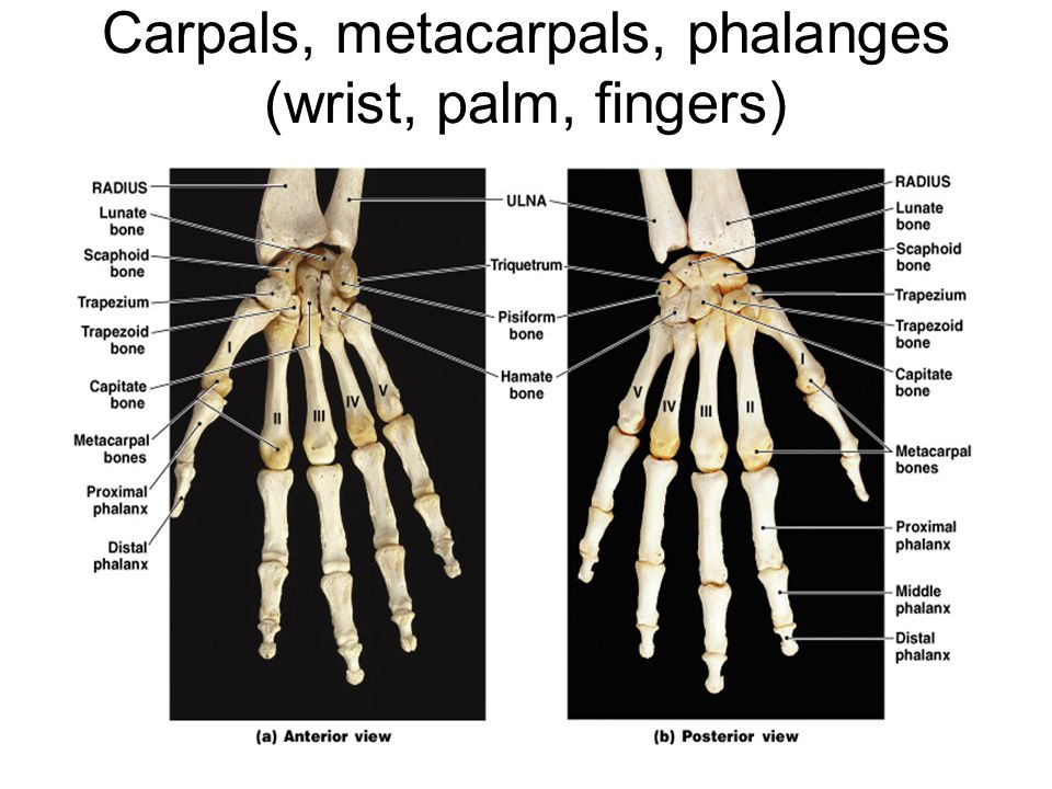 Carpals, metacarpals, phalanges (wrist, palm, fingers)