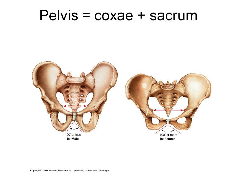 Pelvis = coxae + sacrum