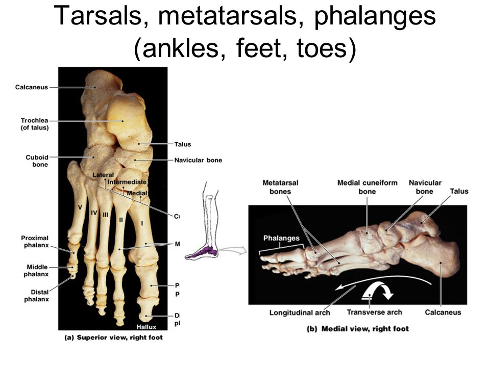 Tarsals, metatarsals, phalanges (ankles, feet, toes)