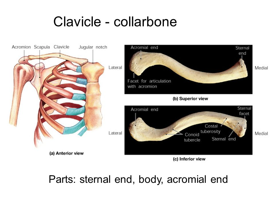 Clavicle - collarbone Parts: sternal end, body, acromial end