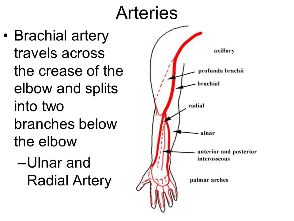 Arteries Brachial artery travels across the crease of the elbow and splits into two branches below the elbow.