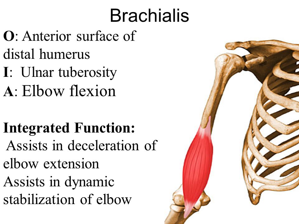 Brachialis O: Anterior surface of distal humerus I: Ulnar tuberosity