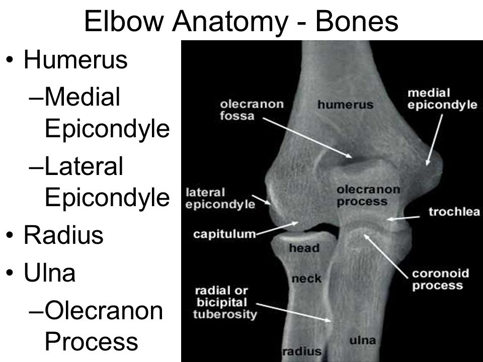 Elbow Anatomy - Bones Humerus Medial Epicondyle Lateral Epicondyle