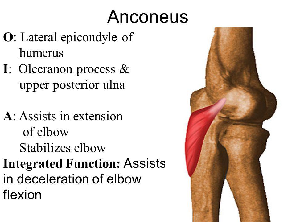 Anconeus O: Lateral epicondyle of humerus I: Olecranon process &