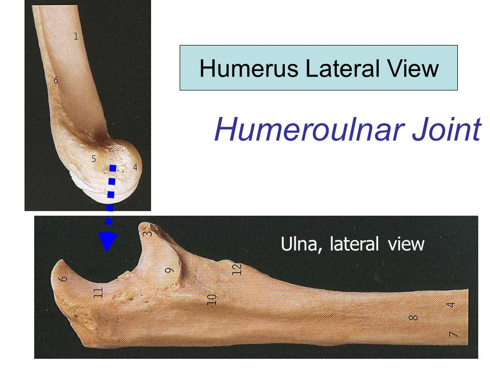 Humerus Lateral View Humeroulnar Joint Ulna, lateral view