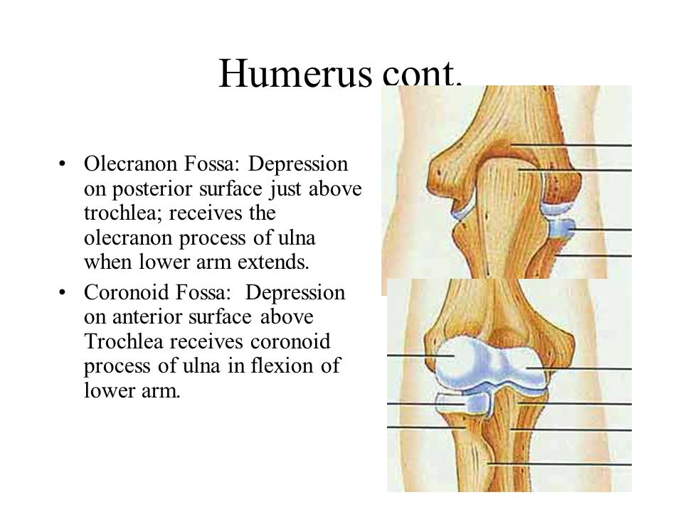 Humerus cont. Olecranon Fossa: Depression on posterior surface just above trochlea; receives the olecranon process of ulna when lower arm extends.