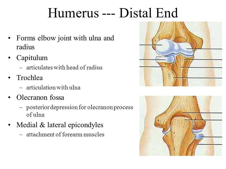 Humerus --- Distal End Forms elbow joint with ulna and radius