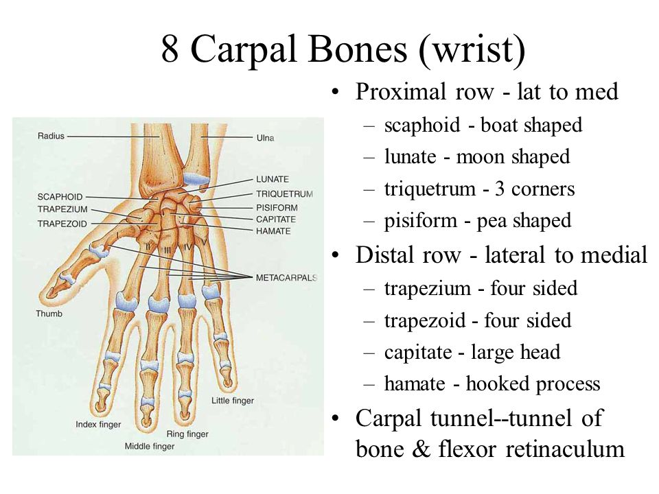8 Carpal Bones (wrist) Proximal row - lat to med
