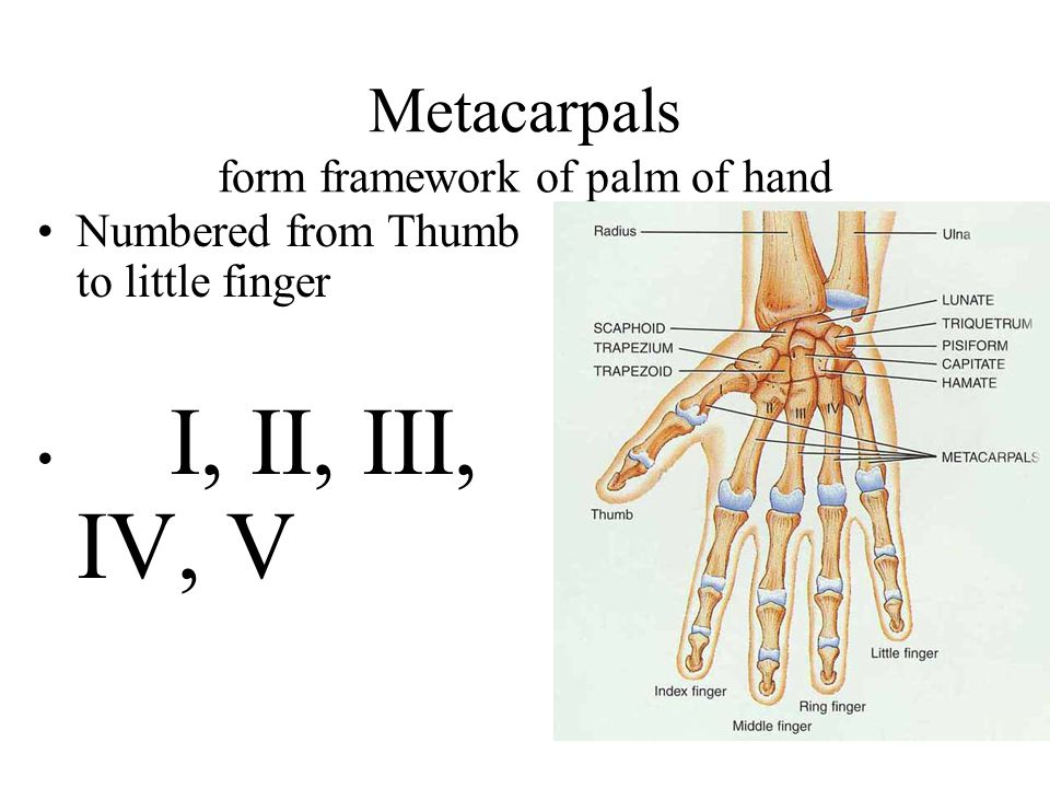 Metacarpals form framework of palm of hand