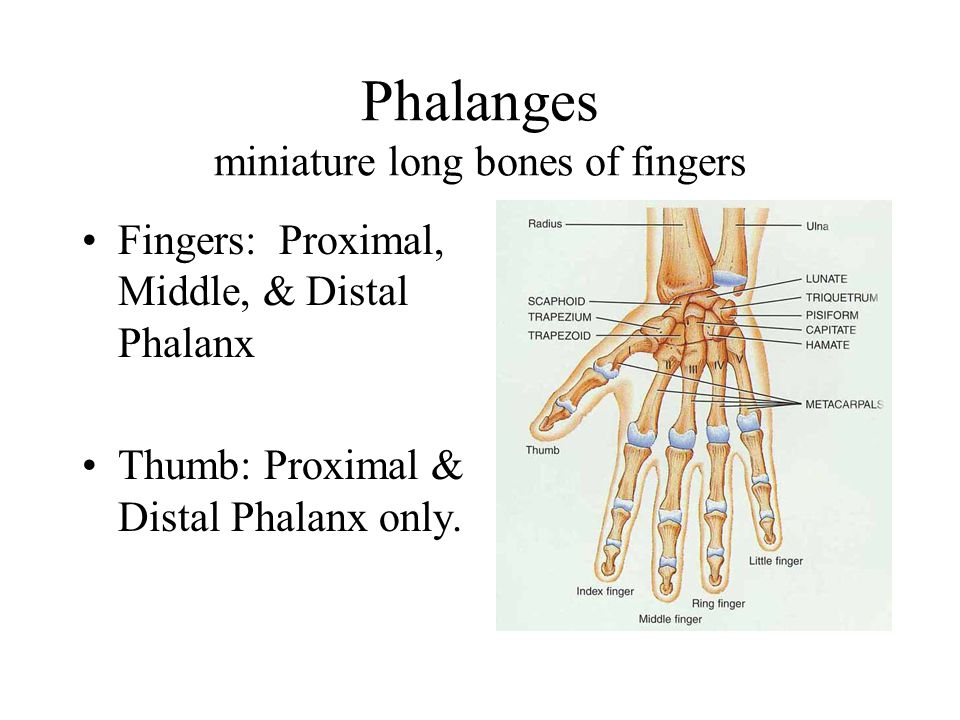 Phalanges miniature long bones of fingers