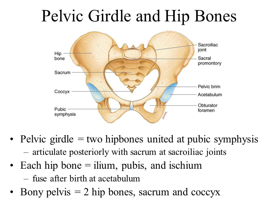 Contemporary Anatomy Pelvic Girdle Adornment - Anatomy Ideas ...