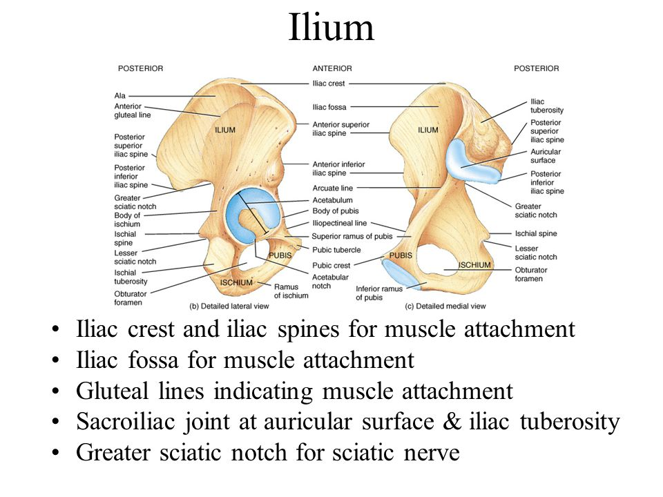 Ilium Iliac crest and iliac spines for muscle attachment
