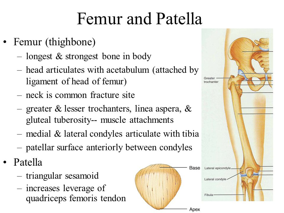 Femur and Patella Femur (thighbone) Patella