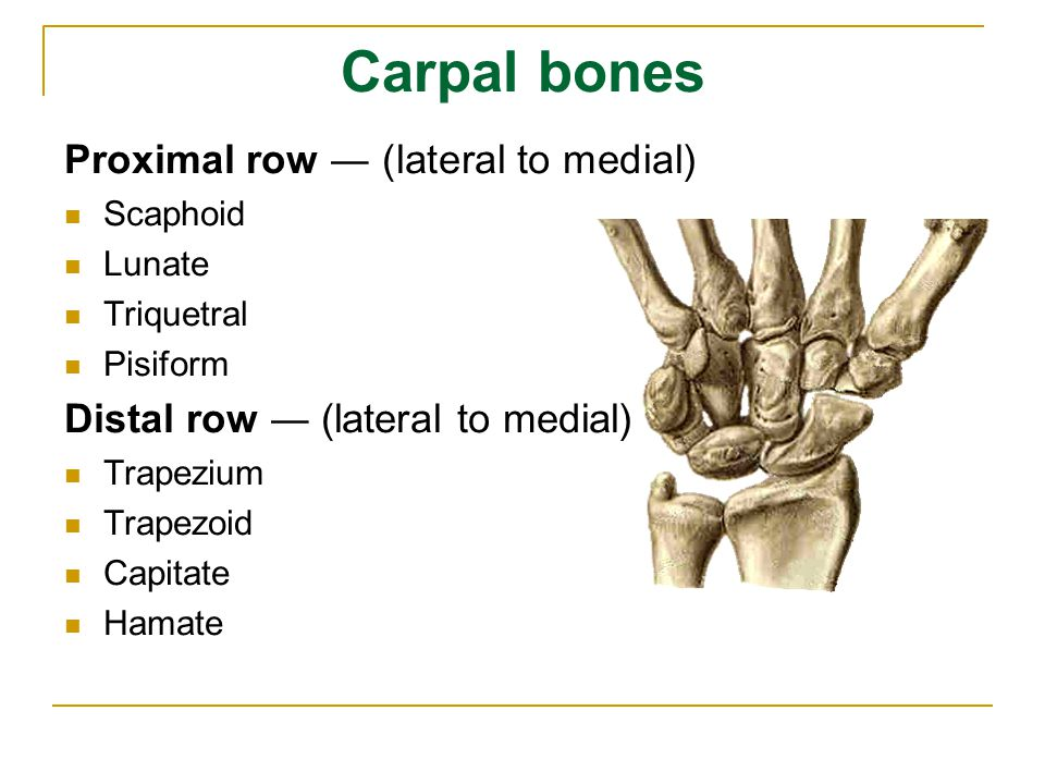Carpal bones Proximal row ― (lateral to medial)