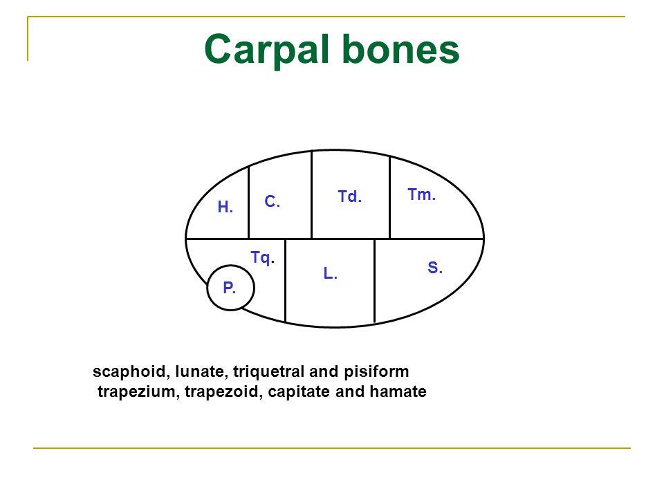 Carpal bones Td. Tm. C. H. Tq. S. L. P.